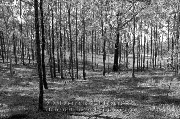 A grove of ironbarks
